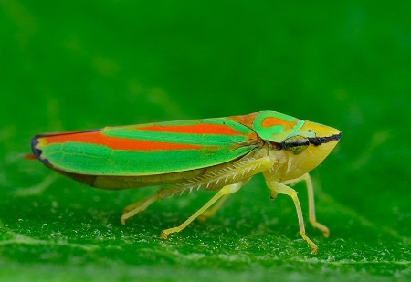 Rhododendron Leafhopper