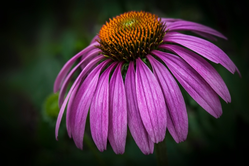 Majestic Cone Flower