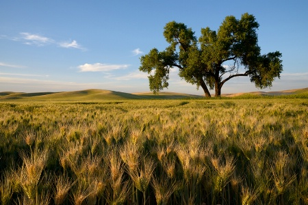 Late Sun on Palouse Tree and Wheat