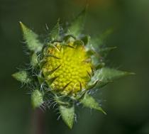 Indian Blanket Flower Bud