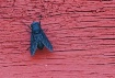 Horse Fly on Red