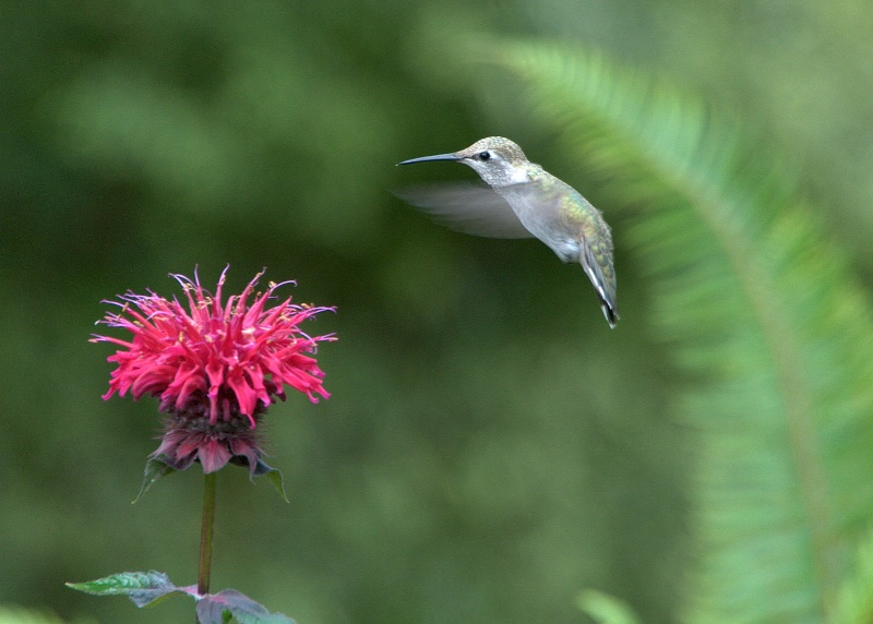 Hummingbird & Bee Balm - ID: 14018286 © cari martin