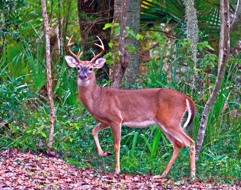 Alert! Whitetail Buck - ID: 14022711 © Zelia F. Frick