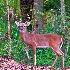 2Alert! Whitetail Buck - ID: 14022711 © Zelia F. Frick