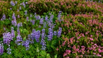 Wilderness Flowers - NEW-3-Lupines and Heathers