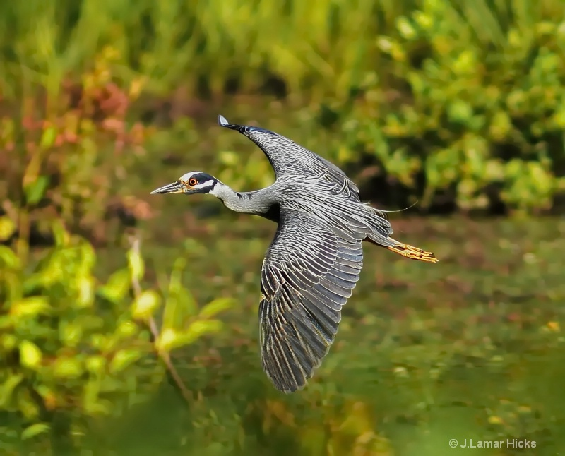 Yel-crowned night heron-flight