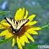 2Tiger Swallowtail on Sunflower - ID: 14026187 © Zelia F. Frick