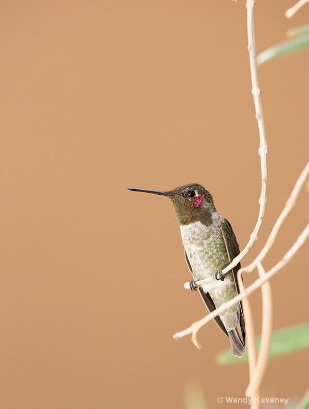 Anna's Hummingbird  - ID: 14029175 © Wendy Kaveney