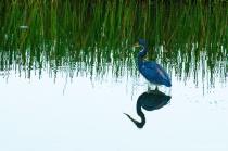 Blue Heron in wetlands