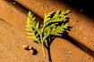 Cedar Branchlet