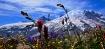 Alpine blooms