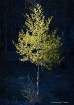 Aspen Glow