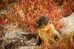 Galapagos Fur Sea...