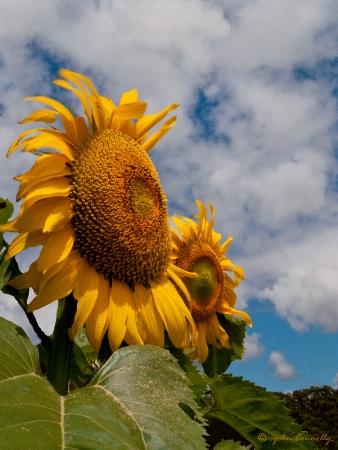 John's Sunflower.