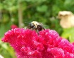 Bumble bee on red...