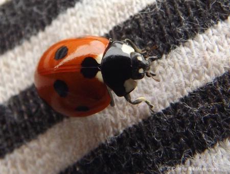 ladybird 13