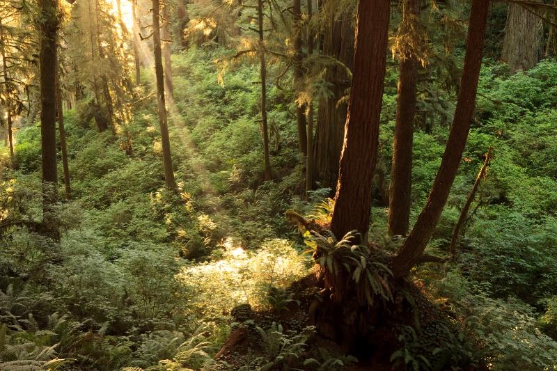 Redwood Spotlight