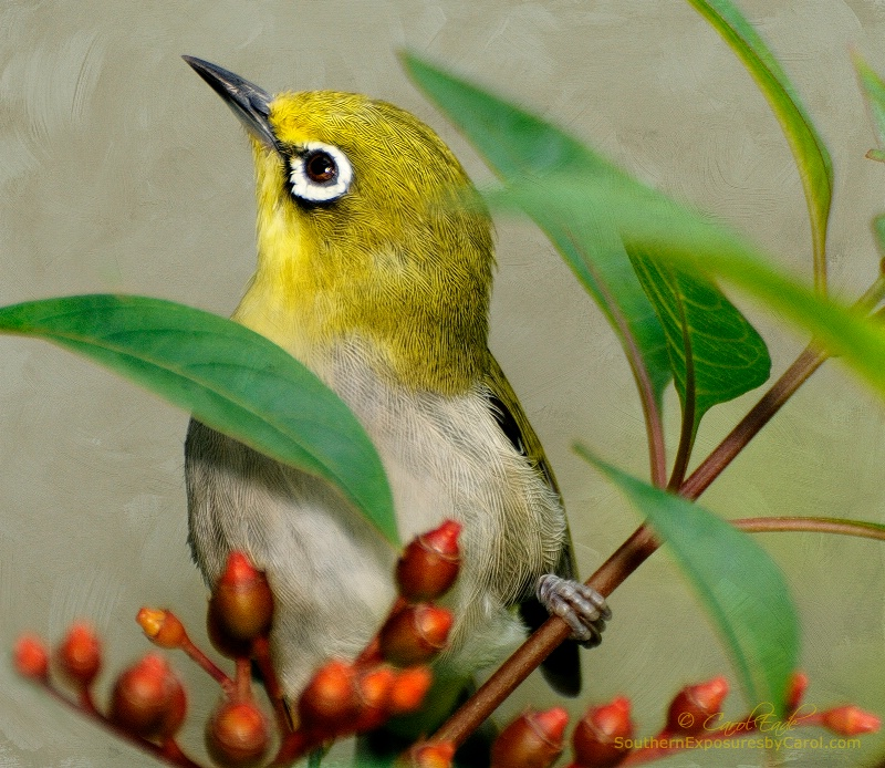 Japanese White-Eye - ID: 14071764 © Carol Eade