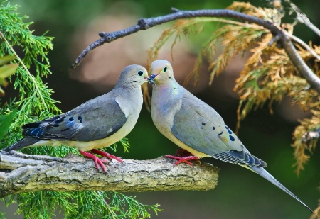 Mourning Dove's-courting
