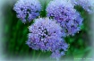 Ornamental Chives