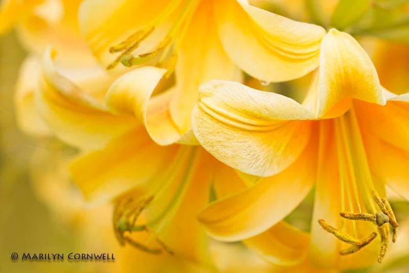 Orange Bouquet - ID: 14081264 © Marilyn Cornwell