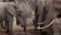 Elephants gathering at the watering hole