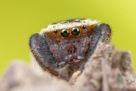 Jumping spider(Rhene sp:)