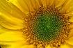 sunflower on a ra...
