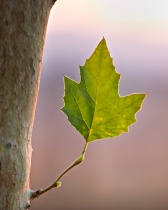 Sycamore Leaf at Dusk
