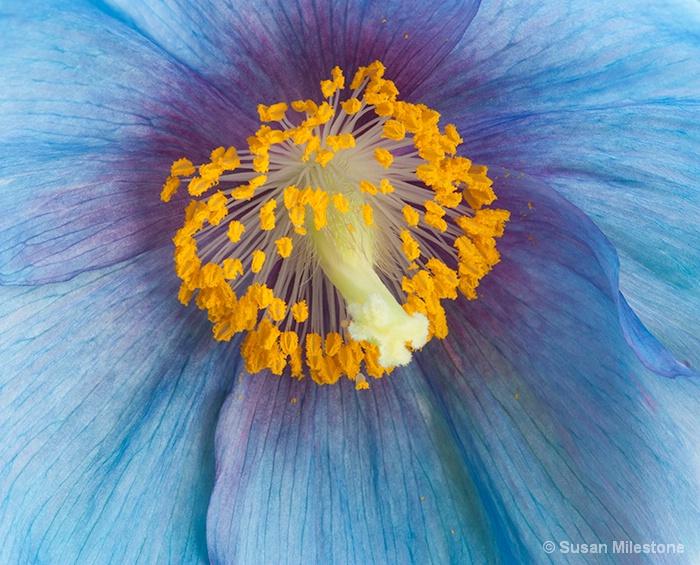 Blue Poppy 3557 - ID: 14121524 © Susan Milestone