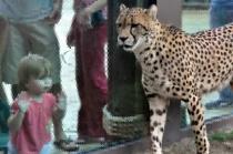 Watching the Cheetah