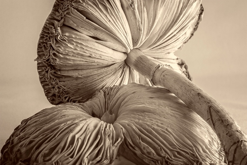 Mushrooms - ID: 14128283 © Kelly Pape