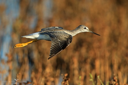 Greater Yellowlegs in Afternoon Light