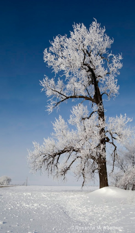 Frosty cottonwood - ID: 14142912 © Roxanne M. Westman