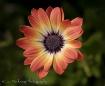 African Daisy (Bi...