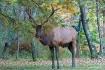 Elk of Benezette