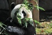 Giant Panda (Ailu...
