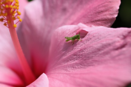 ~Hungry Hibiscus Hopper~