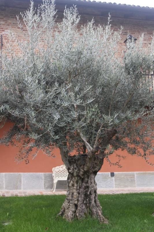 Very old olive tree - ID: 14185694 © Wayne R. Wright