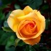 Cora Rose