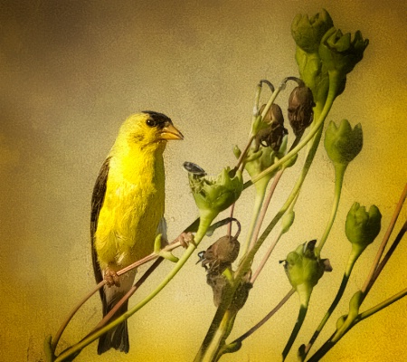 Little Golden Finch