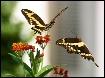 Giant Swallowtail...