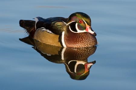 Wood Duck in calm water