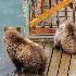 2Brooks Lodge, Katmai National Park - ID: 14205779 © Fran  Bastress