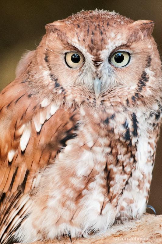 Red Screech Owl - ID: 14216427 © Don Johnson