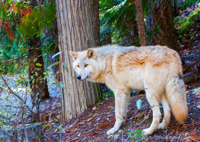 Grey Wolf, Golden, British Columbia, Canada - ID: 14216467 © Rick Zurbriggen