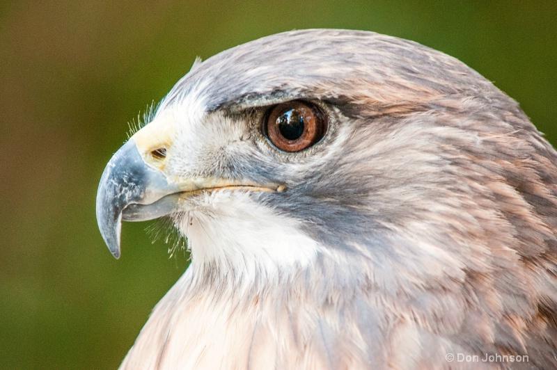 Hawk Profile - ID: 14228956 © Don Johnson