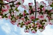 Dogwood Blossoms ...