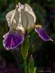 Backlit Iris (Gre...