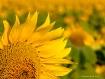 Field of Sunflowe...